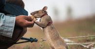 Крыса по кличке Магава, награжденная медалью за храбрость в животном мире при поиске наземных мин и взрывчатки