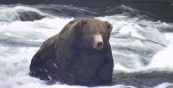 В национальном парке и заповеднике Катмай на Аляске выбрали самого упитанного медведя этого года.