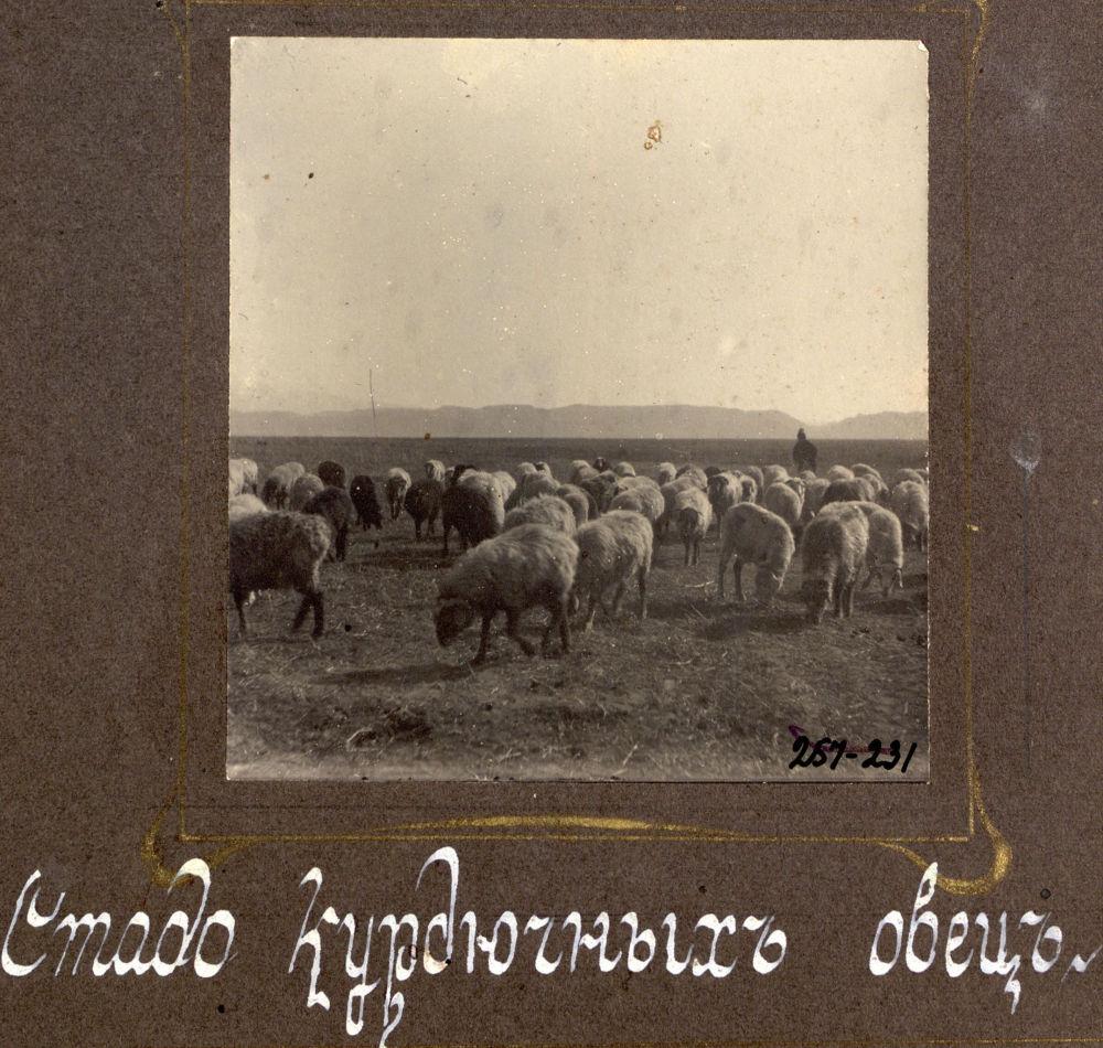 Исследователя интересовали жизнь и быт тогдашних кыргызов и казахов. На фото: стадо курдючных овец.