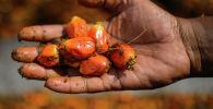 Плоды пальмового масла. Архивное фото