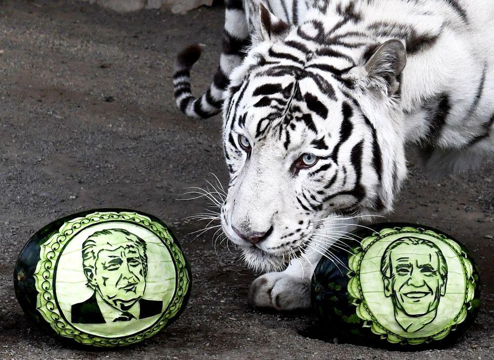 Белый бенгальский тигр Хан выбирает из двух арбузов, на которых вырезаны портреты кандидатов в президенты США – Дональда Трампа и Джозефа Байдена, в Парке флоры и фауны Роев ручей в Красноярске.