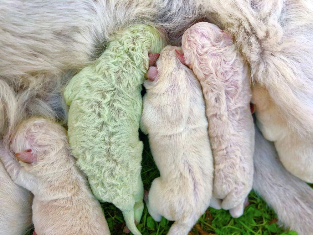 На итальянском острове Сардиния родился щенок с зеленом мехом