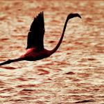 Фламинго летит над водохранилищем в Израиле