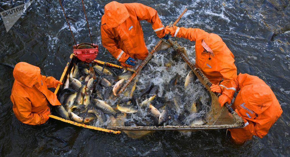 Улов рыбы, выращенной в рыбном хозяйстве