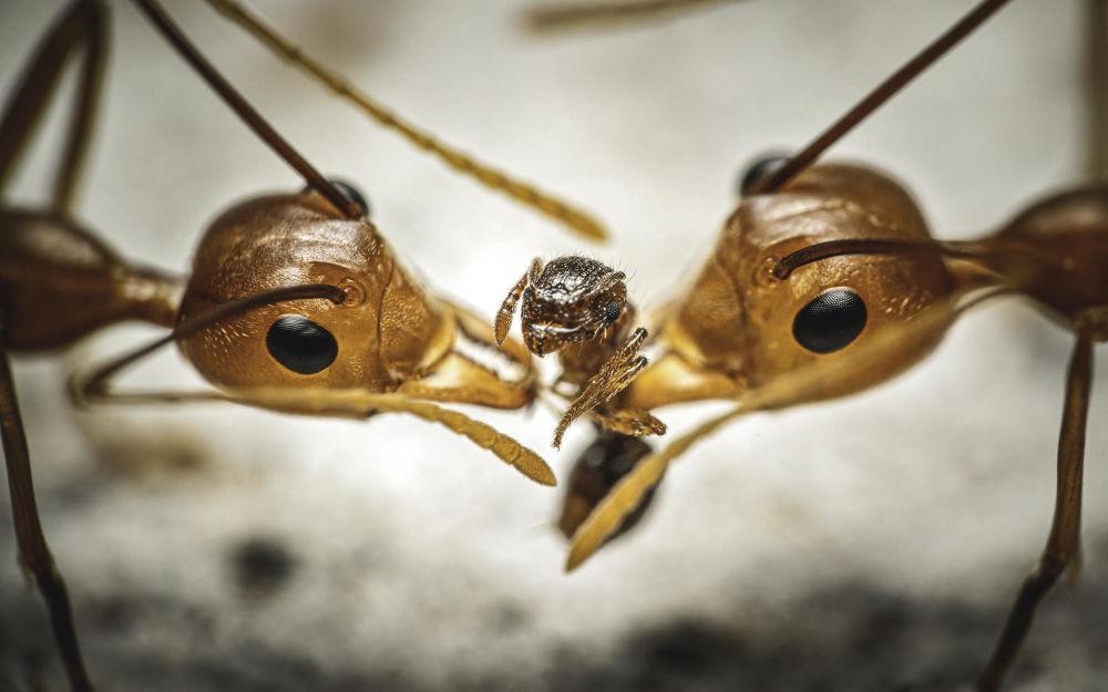 Два муравья-ткача разрывают на части более мелкий вид