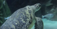 В океанариуме SeaLife в британском Манчестере морская черепаха по кличке Кэмми набрала лишний вес.