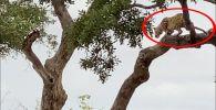 Посетители южноафриканского природного заповедника Крюгера стали очевидцами удивительной сцены, в котором леопард устроил охоту на антилопу прямо с дерева.