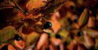 Черноплодная рябина. Архивное фото