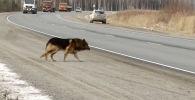 Россиянын аймагында Тобольск — Туртас трассасынын аймагында Мишка аттуу ит жашайт. Аны ары-бери өткөндөр көрө берип таанып бүтүшкөн.