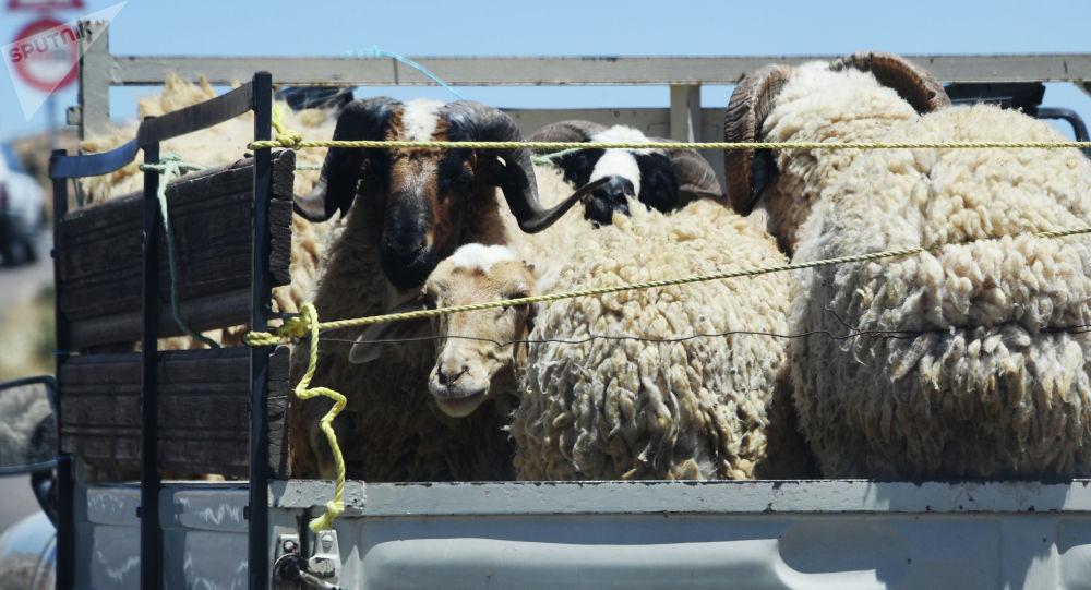 Бараны и овцы в кузове грузовика. Архивное фото