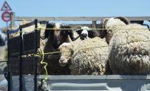Овцы на грузовой машине. Архивное фото