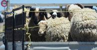 Овцы в кузове грузовика. Архивное фото