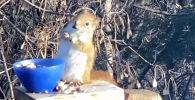 Хозяйка сада случайно накормила белку перебродившими грушами, из-за чего животное опьянело. Необычный случай сняли на видео.