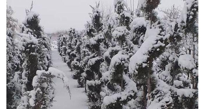 Жердева: Көбүнчө келишим менен дүңүнөн Казакстан, Россияга жиберебиз, артып калганын Кыргызстандын ичинде сатабыз. Жумушубузда көчөттөрдү кыйыштырып, үрөндөрү менен көбөйтөбүз.