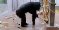 В социальных сетях стало популярным видео, на котором взрослый шимпанзе пытается провести уборку в своей клетке.