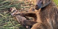 Түштүк Африкадагы Пилейнсберг улуттук паркына барган саякатчылар кабыландын баласын көтөрүп жүргөн маймылды (павиан) видеого тартып алышкан. Ролик Kruger Sightings Youtube каналына жарыяланды.