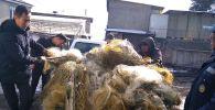 Рыболовные сети браконьеров на Иссык-Куле