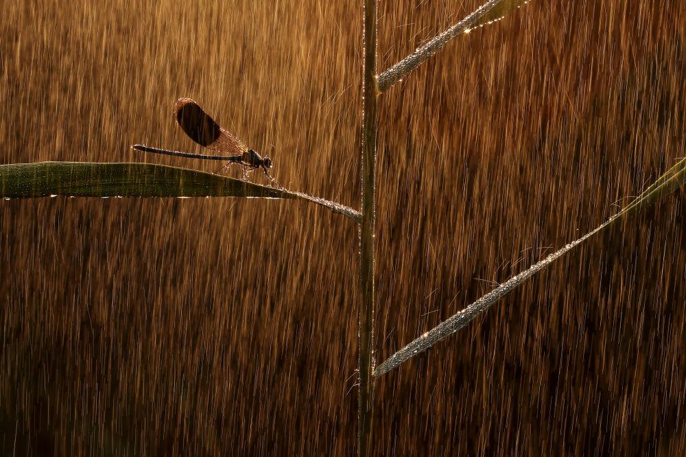 Микродүйнө номинациясында мыкты деп табылган Calopteryx ийнелигинин сүрөтү. Норберт Касаш (Венгрия)