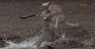 Түштүк Африкадагы Крюгер паркында жаш гепард энесинин көзүнчө крокодилге капыстан жем болгонун ошол жердеги гид Бусани Мтшали айтып берди.