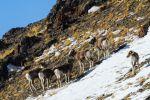 Архары в горах. Архивное фото