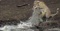 В южноафриканском национальном парке Крюгера посетители в ходе экскурсии стали свидетелями крайне редкого зрелища — крокодил поймал гепарда, считающегося самым быстрым животным в мире.