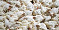 Выращивание кур на птицефабрике. Архивное фото