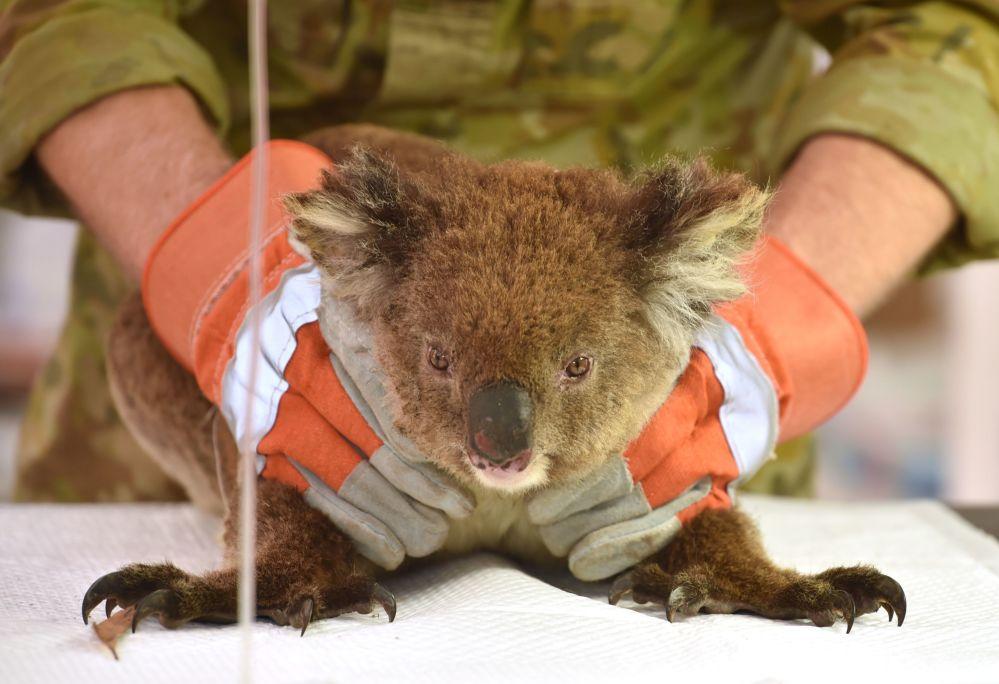 Австралия, токойдогу өрттө күйүк алган коала Кенгуру аралындагы жапайы жаратылыш паркынын талаа госпиталында дарыланып жатат