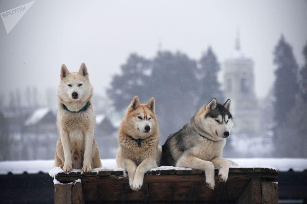 Собаки породы хаски в деревне Рузская Аляска в Подмосковье.