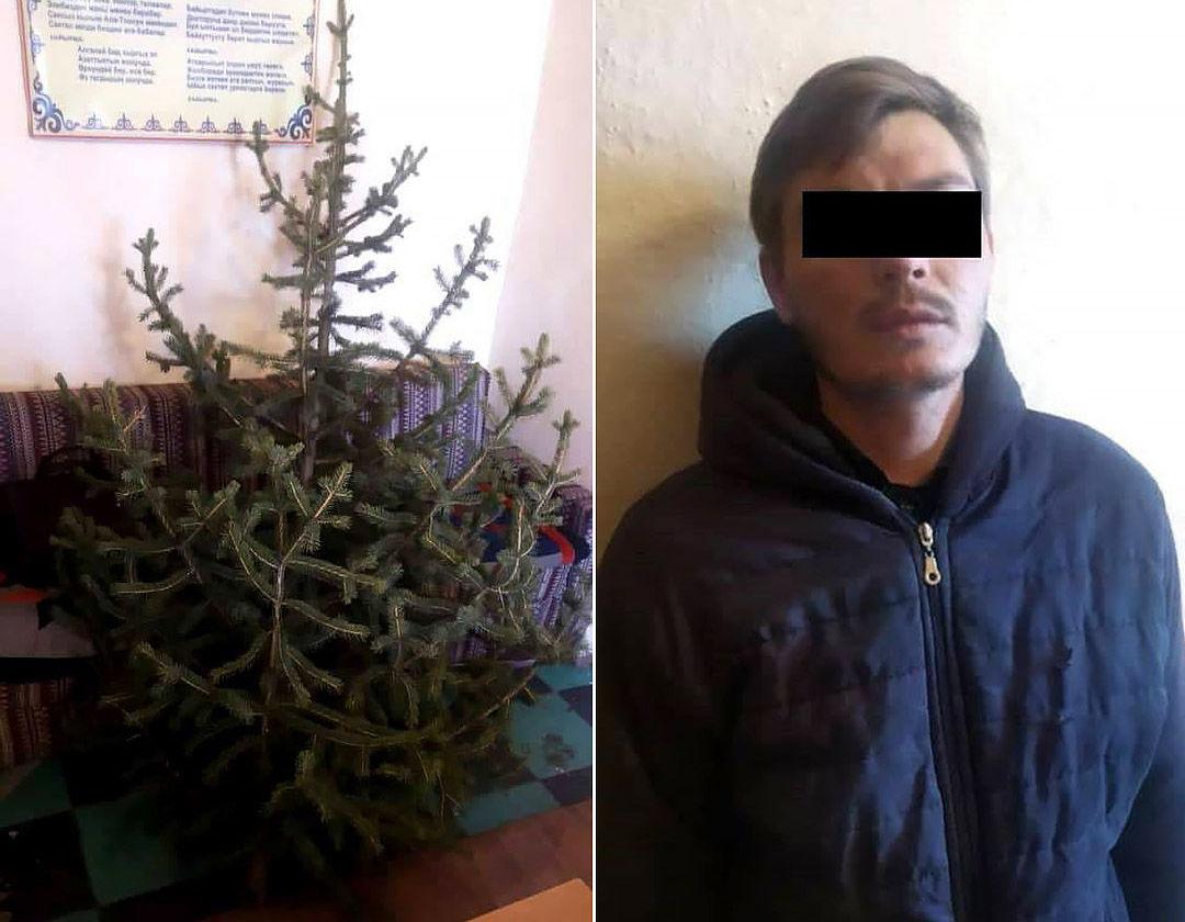 В Караколе мужчина срубил елку в Парке Победы и хотел установить ее дома в преддверии Нового года. 27 декабря 2020 года