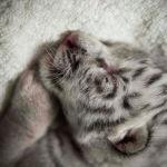 Новорожденный белый тигр по имени Сноу спит в Национальном зоопарке Масая (Никарагуа) 05 января 2021 года