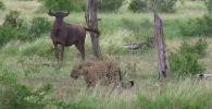 Антилопа ни на шаг не отходила от раненого теленка, но тот не смог встать на ноги. Легкая добыча привлекла грифов, леопарда и кабанов.