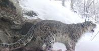Зоозащитники получили редкие кадры. На 20-й секунде этого видео можно услышать брачный зов снежного барса.