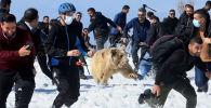 В Ираке выпустили на волю шесть бурых медведей, которых до этого в неволе держали в домашних зверинцах. Новым домом для зверей стал горный массив на севере страны.