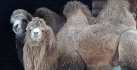 Азиатские двугорбые  верблюды. Архивное фото