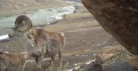 Архары в государственном природном заповеднике Сарычат-Ээрташ в Джети-Огузском районе. Архивное фото