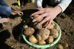 Картошканын түшүмүн жыйноо. Архив
