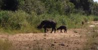 Туристы в южноафриканском парке Крюгера стали очевидцами редкого зрелища, где интересы сразу двух зверей пересеклись в одной точке. Этой точкой оказался новорожденный теленок буйвола.