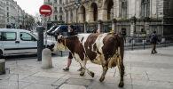 Фермер выгуливает корову на площади перед мэрией Лиона