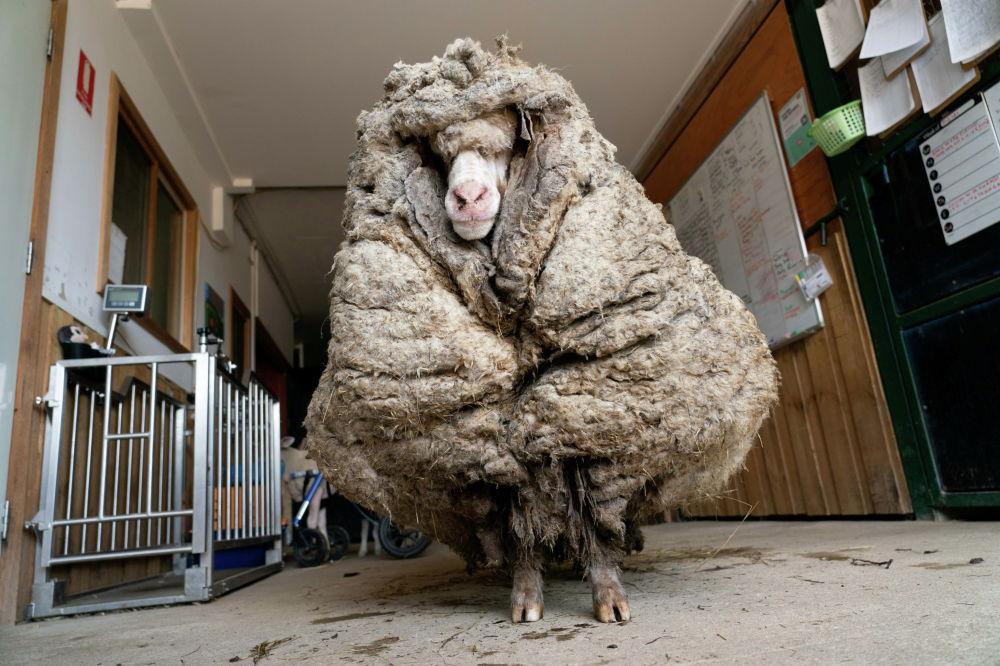В Австралии спасли изможденную овцу по кличке Баарак, которая отрастила шерсть общим весом 35,4 килограмма. Животное постригли и накормили.