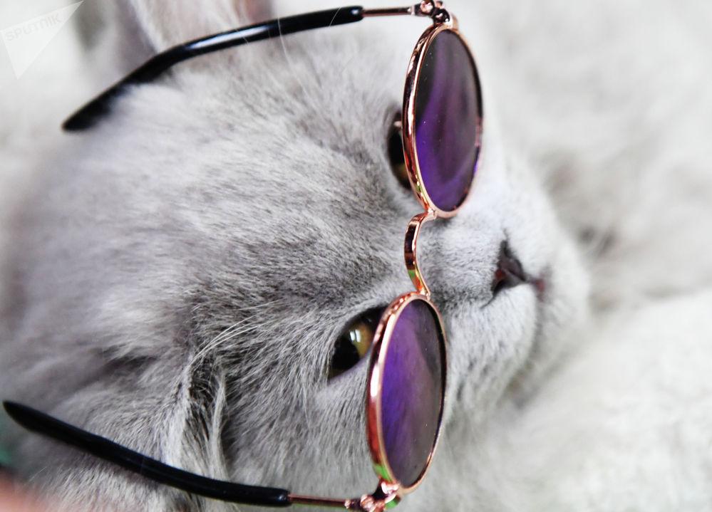 Кошка британской породы на выставке КоШарики Шоу в Москве.