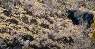 Видео снято командой Смитсоновского института (США). На кадрах показано, как снежный барс подбирается к стаду яков.