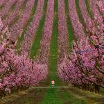 Девочка гуляет среди цветущих деревьев в персиковом саду в Айтоне, Испания. 5 марта 2021 года