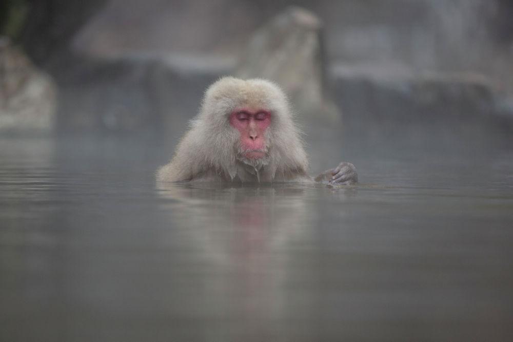 Макака купается в горячем источнике в долине Дзигокудани в префектуре Нагано, к северо-западу от Токио, Япония. 6 марта 2021 года