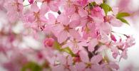 Тысячи сакур расцвели в парках китайского города Сянъян. Предлагаем посмотреть на эту красоту.