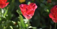 Тюльпаны на клумбе. Архивное фото
