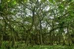 Баньяновые деревья. Архивное фото