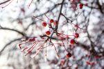 Деревья с замерзшими ягодами. Архивное фото