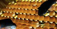 Проверка качества яиц на на птицефабрике. Архивное фото