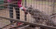 На участке жилого дома Салтанат Сеитовой под Бишкеком живут снежный барс, восемь рысей, два пеликана, маленький лис, беркут и другие животные…