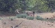 Посетители южноафриканского парка Крюгера стали свидетелями редкого зрелища — гиена отобрала из пасти леопарда только что пойманную добычу.